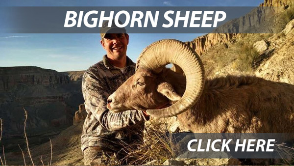 Arizona Bighorn Sheep hunts